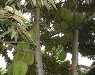 Fruiting Durian1