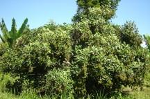 Fruiting Rambutan